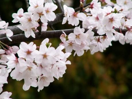 hinh nen hoa dao cho may tinh