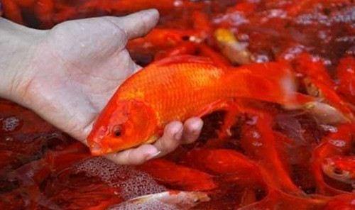 Nằm mơ thấy cá chép, cá chép đỏ, vàng, hóa rồng, bị chết 1
